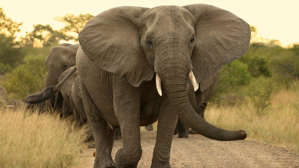 Elefantes em fila