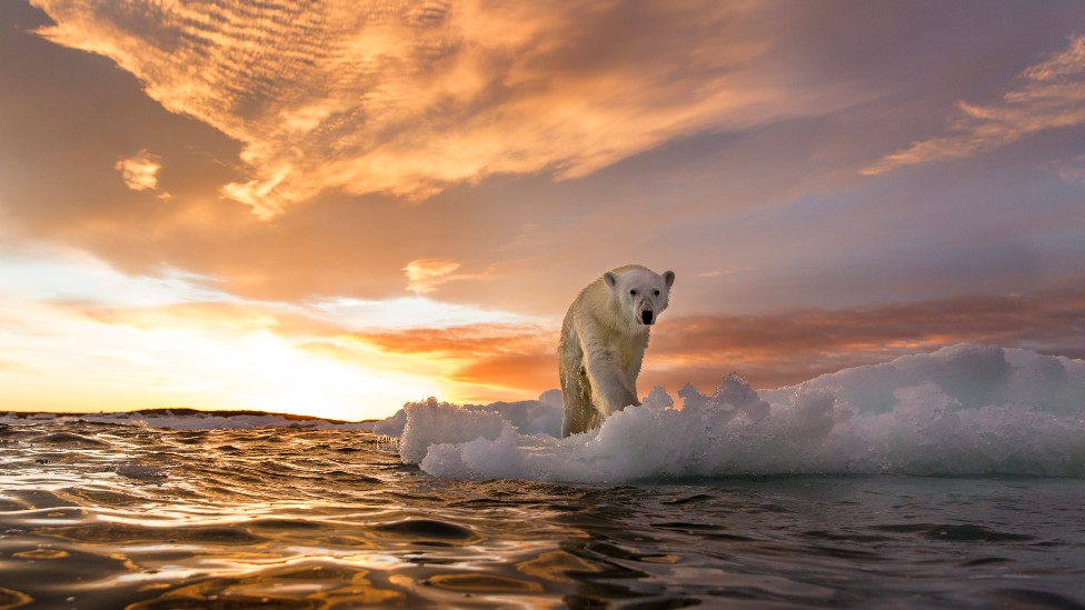 Oso polar sobre un trozo de hielo en el mar
