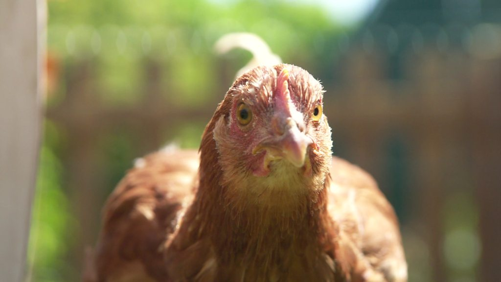 Teacher's peck: Meet the pupils rearing chickens in London