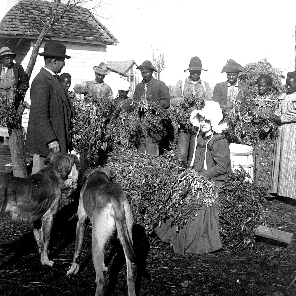 Los trabajadores agrícolas en Arkansas tienen plantas de maní para inspección, 1899.