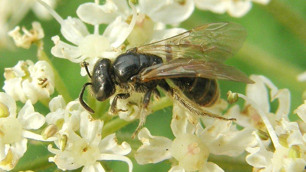 Lobe-spurred furrow bee