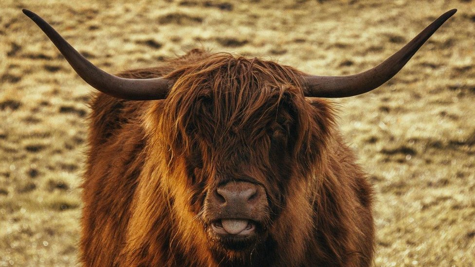 A brown Highland Cow