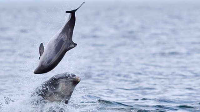 Rare attacks by dolphins on porpoises photographed