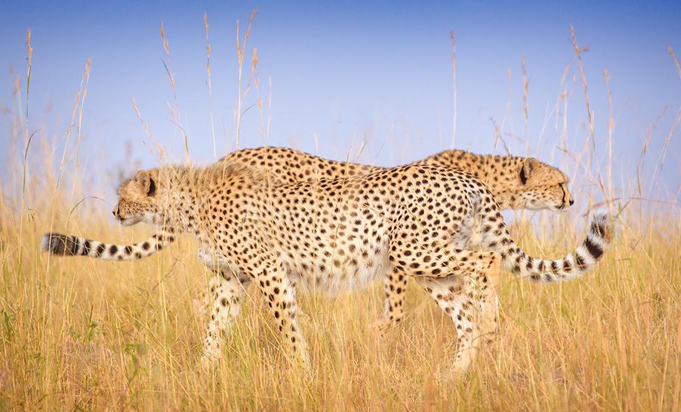 Dva geparda se mimoilaze