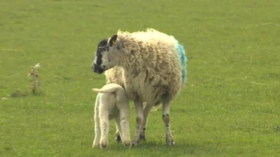 Sheep butchered in fields by 'professional gangs'