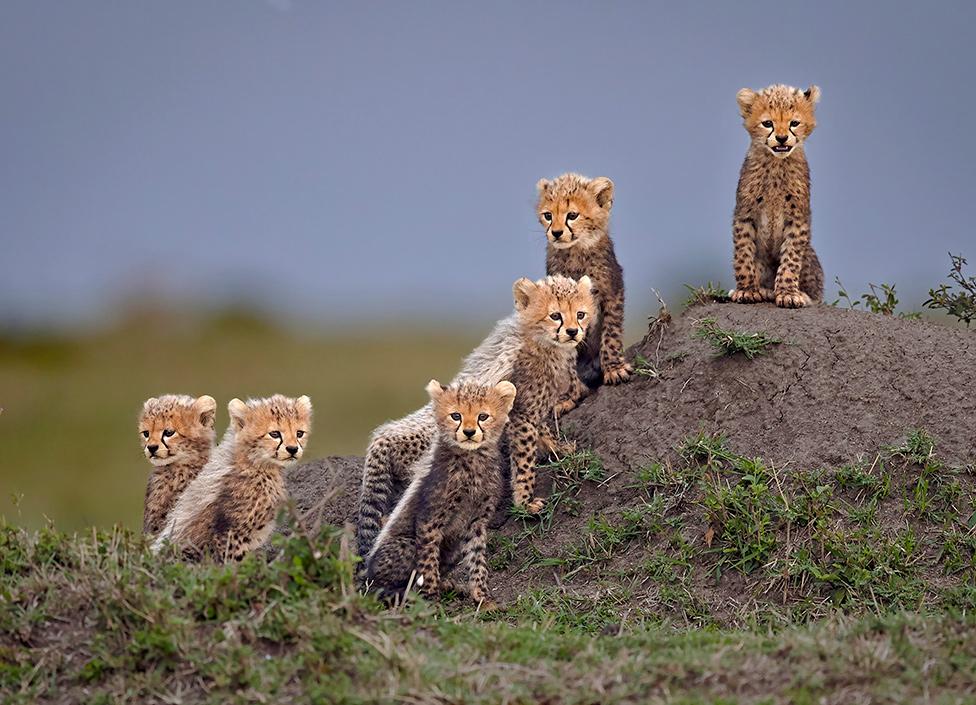 mali gepardi