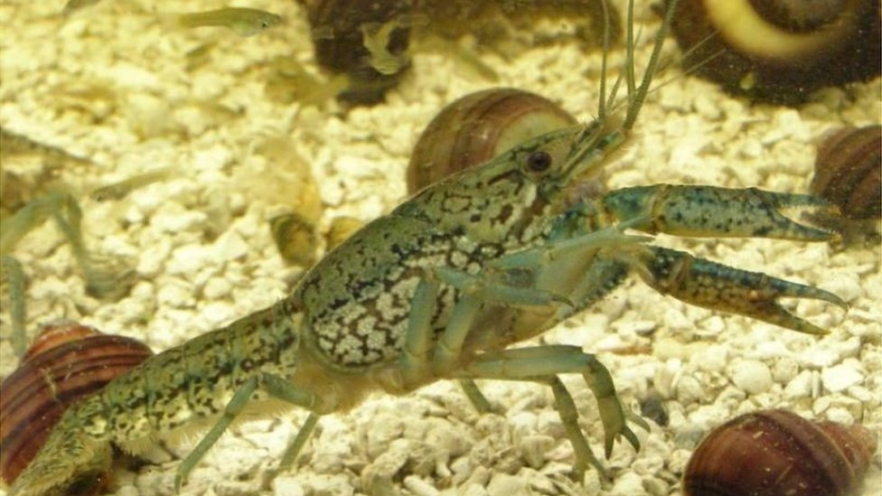 New crayfish that doesn't need males to mate becomes all-powerful