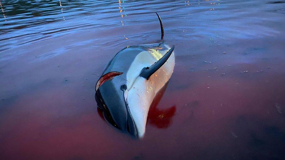 Delfines en Islas Feroe.