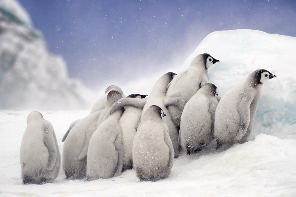 Penguin chicks huddled together at Snow Hill in Antarctica, October 2018.