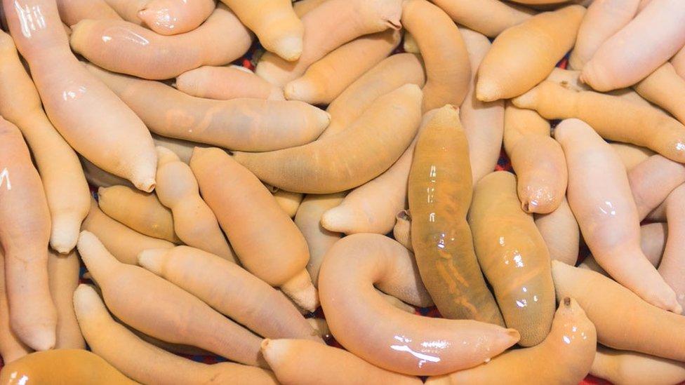 """Fotografija Urechis unicinctus, """"penis ribe"""" pronađene na istoku Azije, slična vrsti Urechis caupo."""