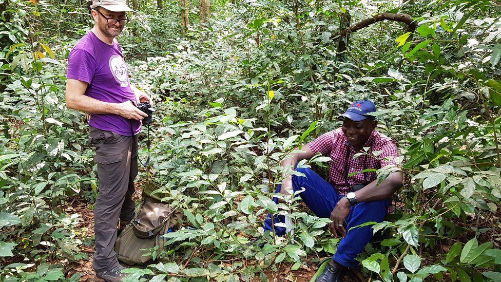 Dos científicos en los bosques de Sierra Leona donde fue hallada la planta Coffea stenophylla