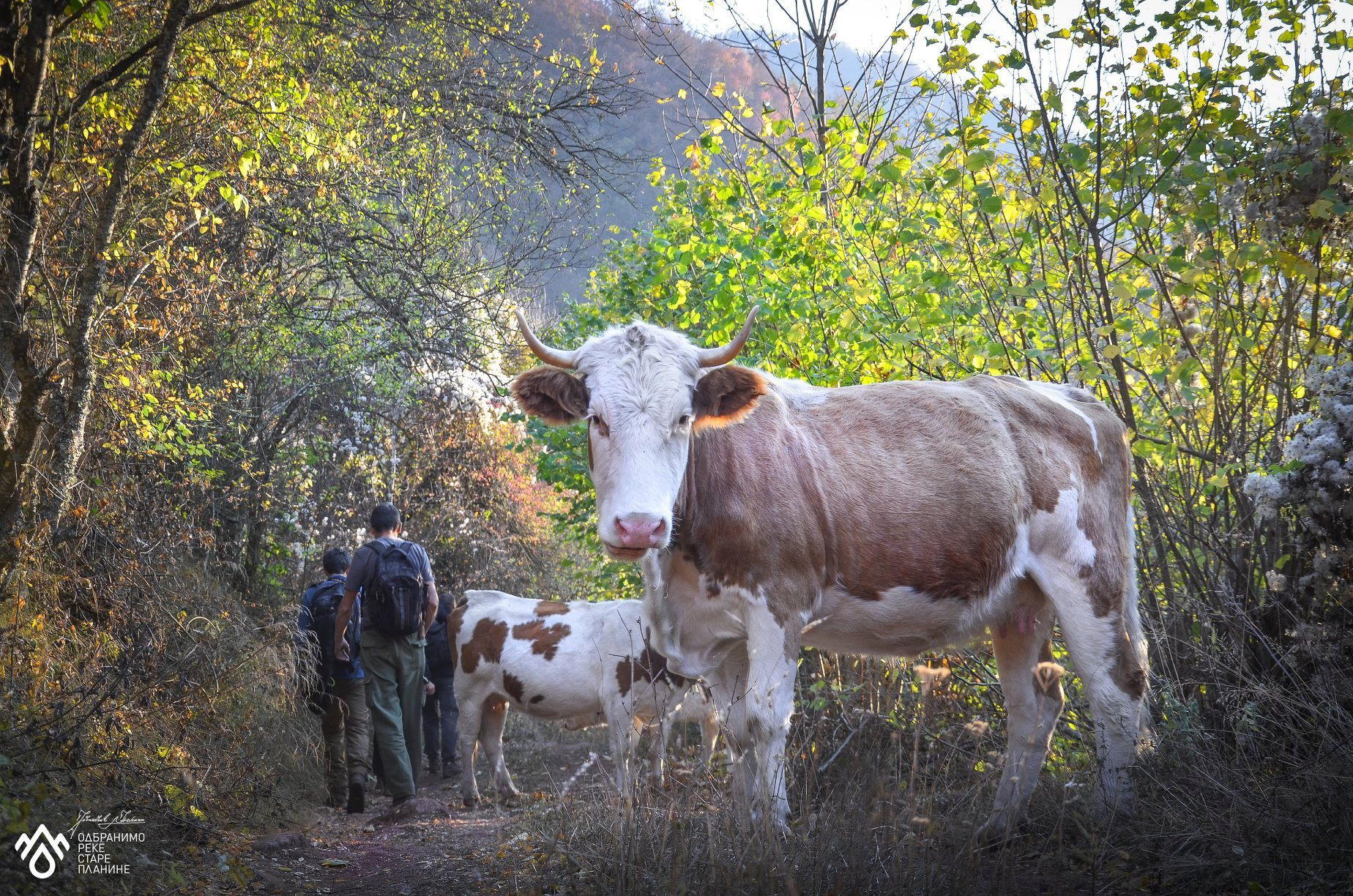 krave na staroj planini
