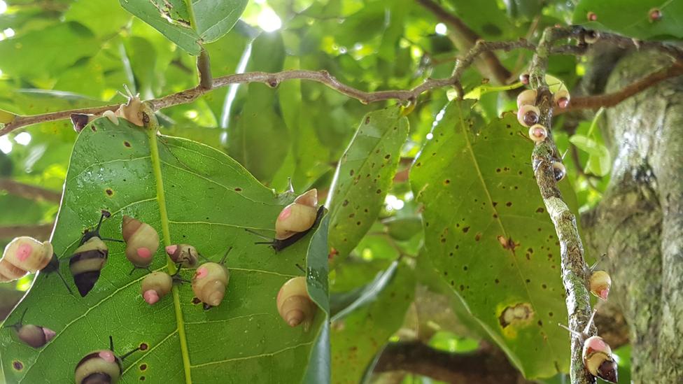 Polynesian tree snails