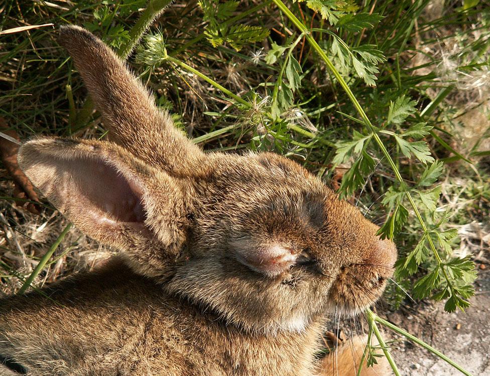 Un conejo enfermo de mixomatosis