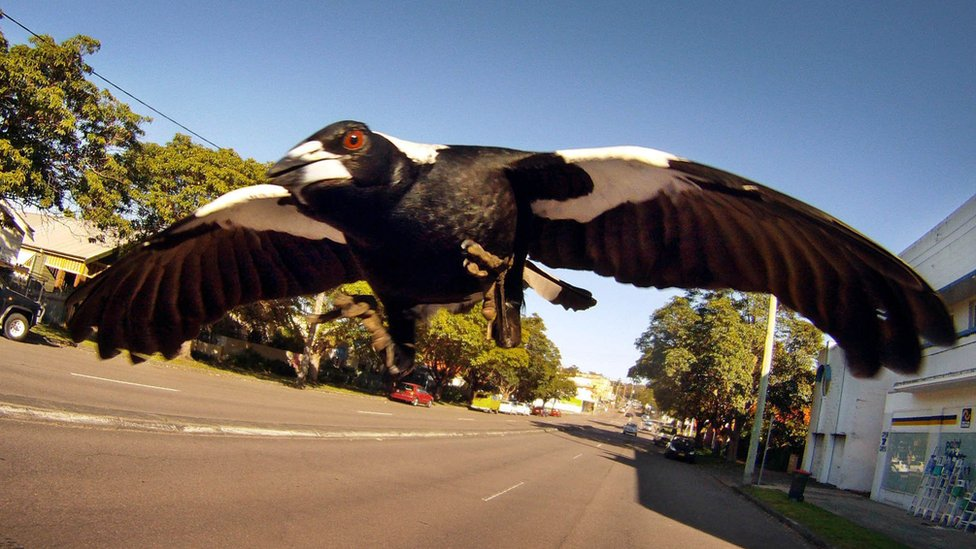An Australian magpie swoops towards the camera in this file photo taken inn Newcastle, Australia, in 2011.