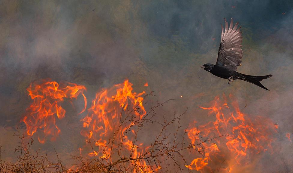 A black bird flies over flaming branches