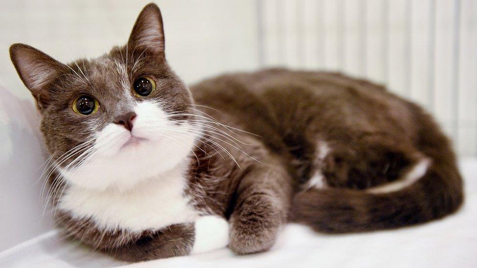 โควิด-19 : สัตวแพทย์แนะอย่าปล่อยแมวออกนอกบ้าน  สกัดไวรัสโคโรนาสายพันธุ์ใหม่ระบาดในสัตว์เลี้ยง - BBC News ไทย