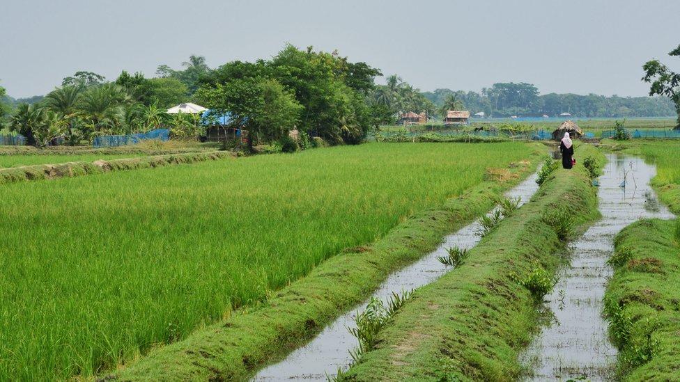 Rice field in Bangladesh