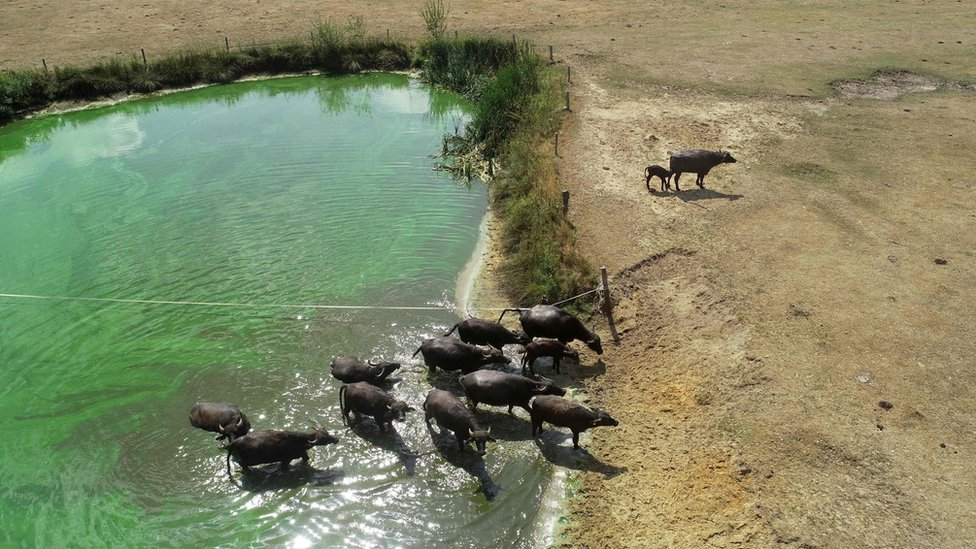 Aerial photograph showing a group of water buffalo walking from a water pool onto parched earth at Beckum, Germany