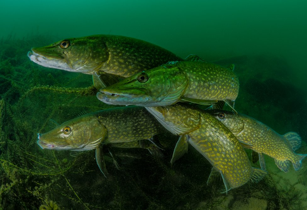 A group of pike underwater.