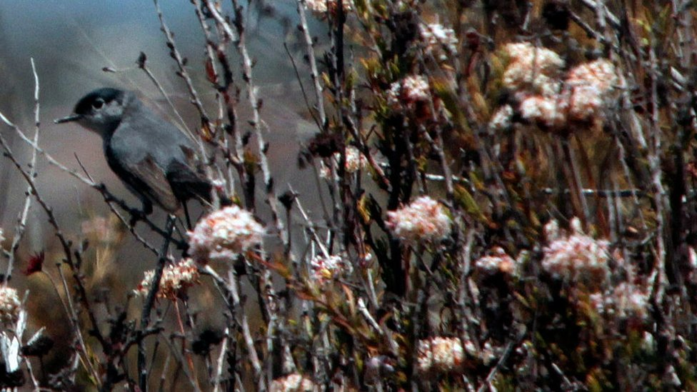 A California gnatcatcher hangs on to a buckwheat plant