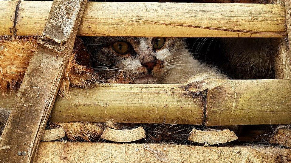 Gato transportado en un camión en Vietnam