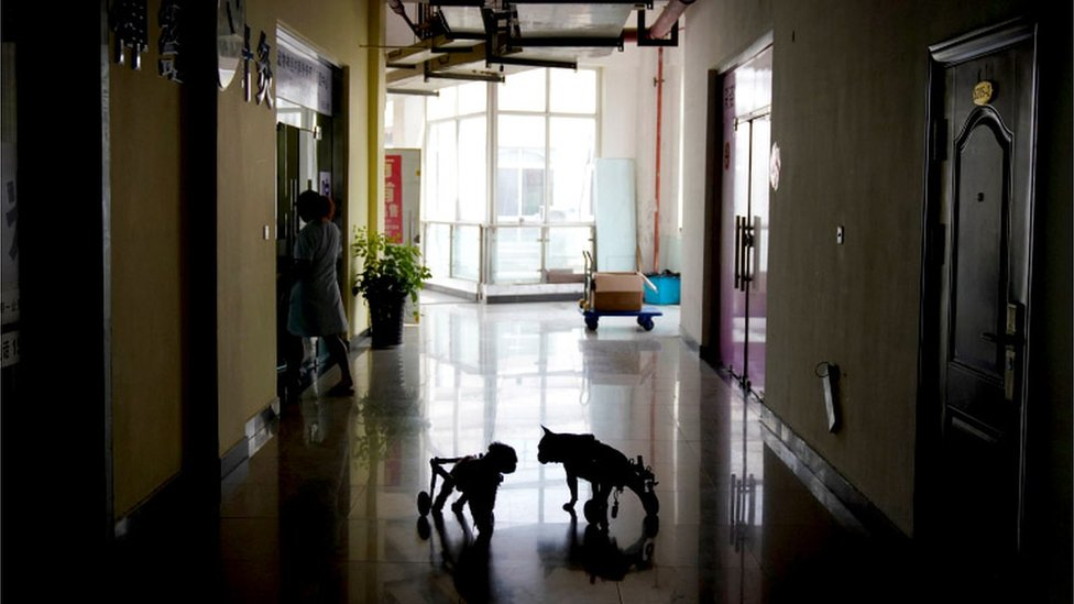 A dimly lit vet hallway with the shadowed silhouettes of two dogs in wheelchairs visible