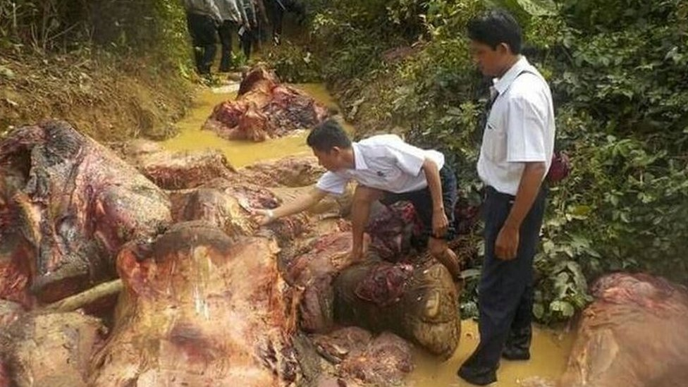 Researchers looking at the skinned carcases of elephants in Myanmar.