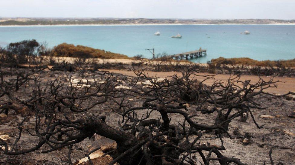 spaljeno žbunje u australiji