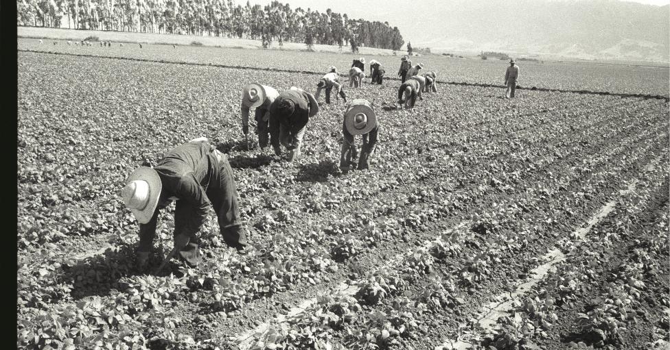 Un grupo de braceros en un cultivo en Salinas, California, en 1956.