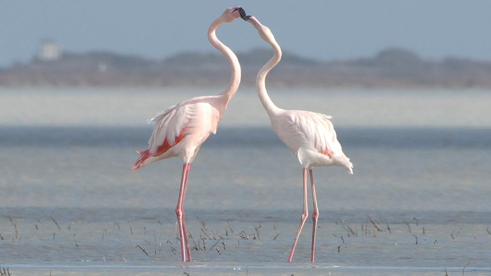Flamingos in a salt lake in Limassol, Cyrprus