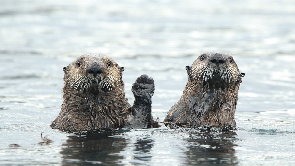 Otters waving