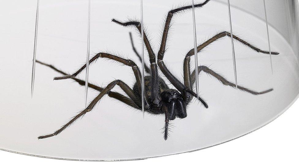 Spider under a glass