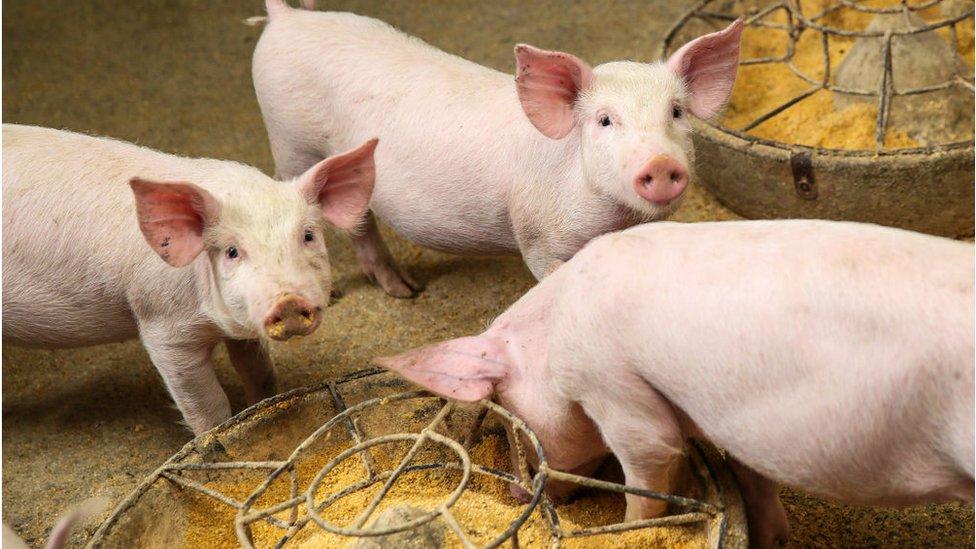 Cerdos en una granja en Bijie, Guizhou, China.