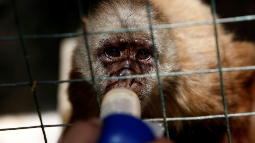 An employee gives vitamins with a syringe to a capuchin monkey at the Paraguana zoo in Punto Fijo, Venezuela July 22, 2016