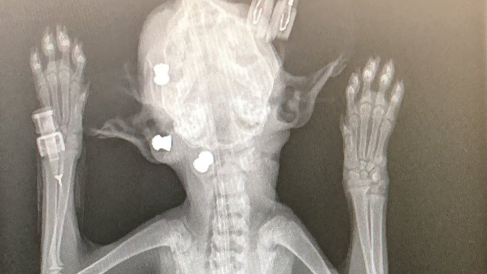 X-ray showing pellets in
