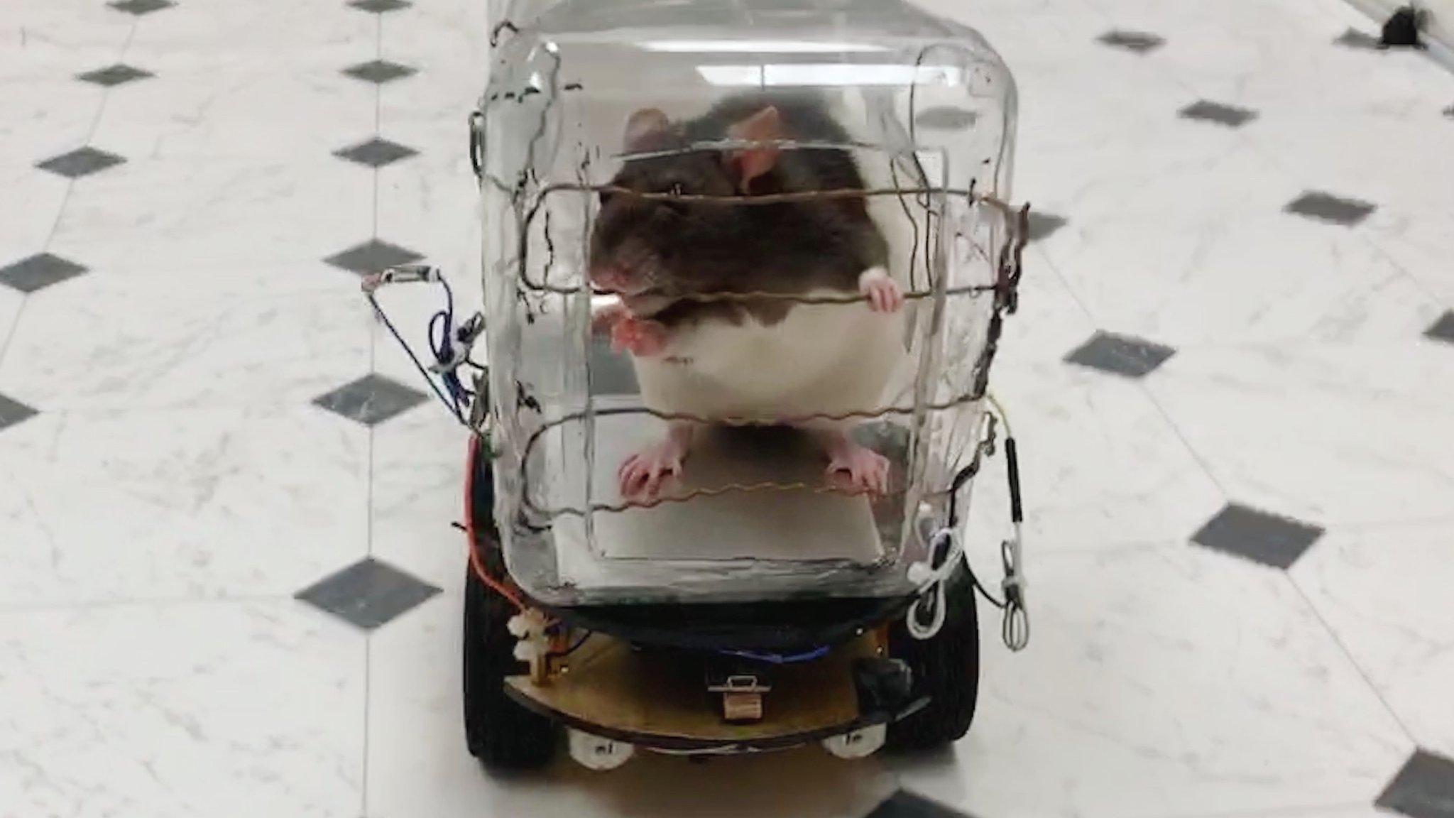 Пацюків навчили керувати авто, щоб зняти стрес. І їм це сподобалось