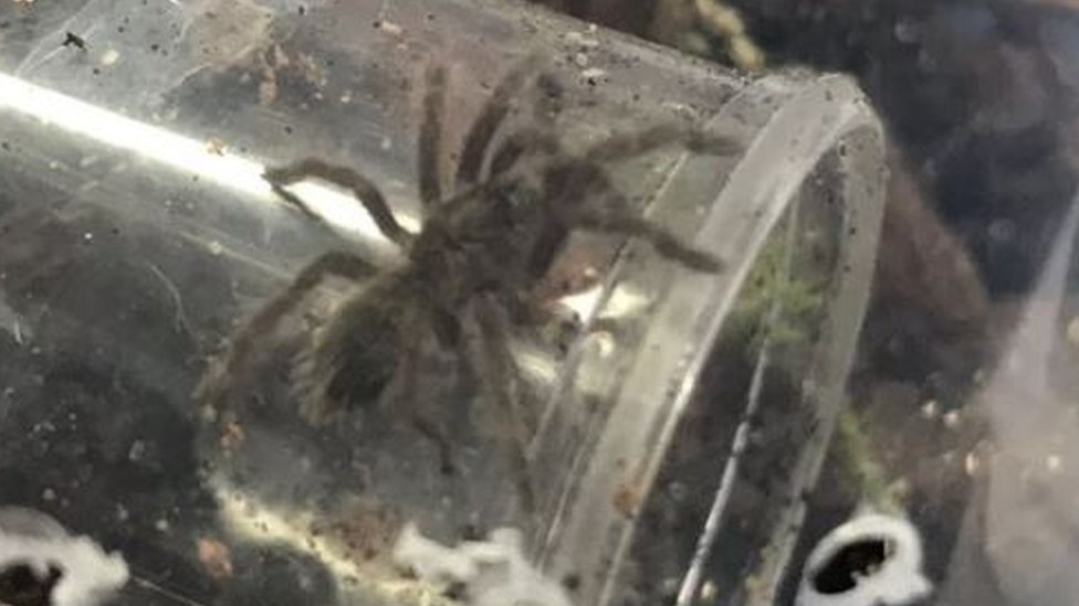 Two bird-eating tarantulas 'may be on the loose' in Derbyshire