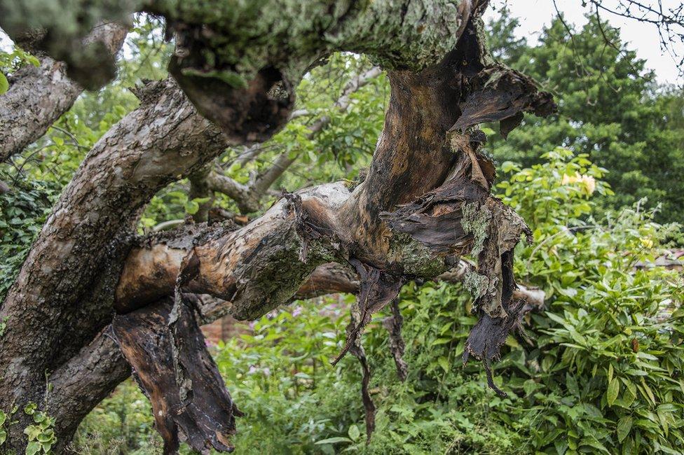 Branches of original Bramley apple tree