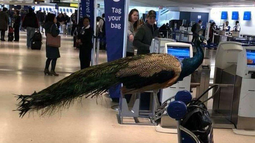 Paun čeka red na aerodromu u Nju Džersiju