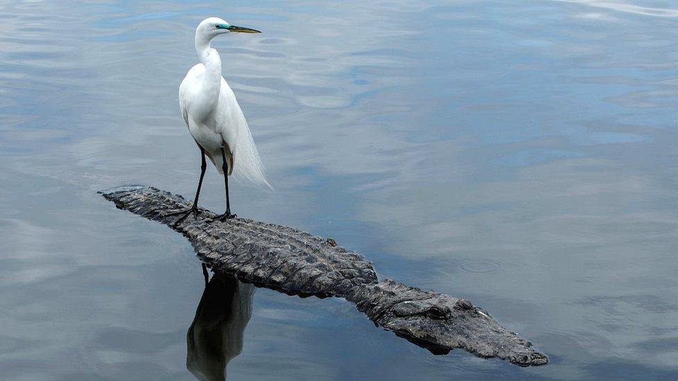Egret on Alligator