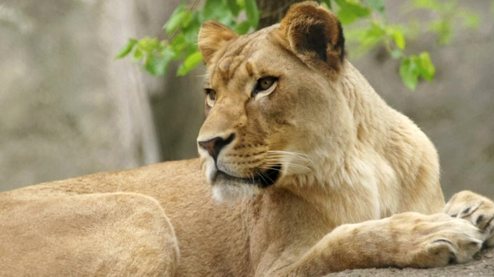 Why did this lioness kill the father of her cubs?