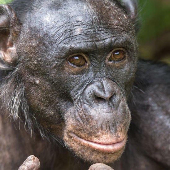 Bonobo adulto