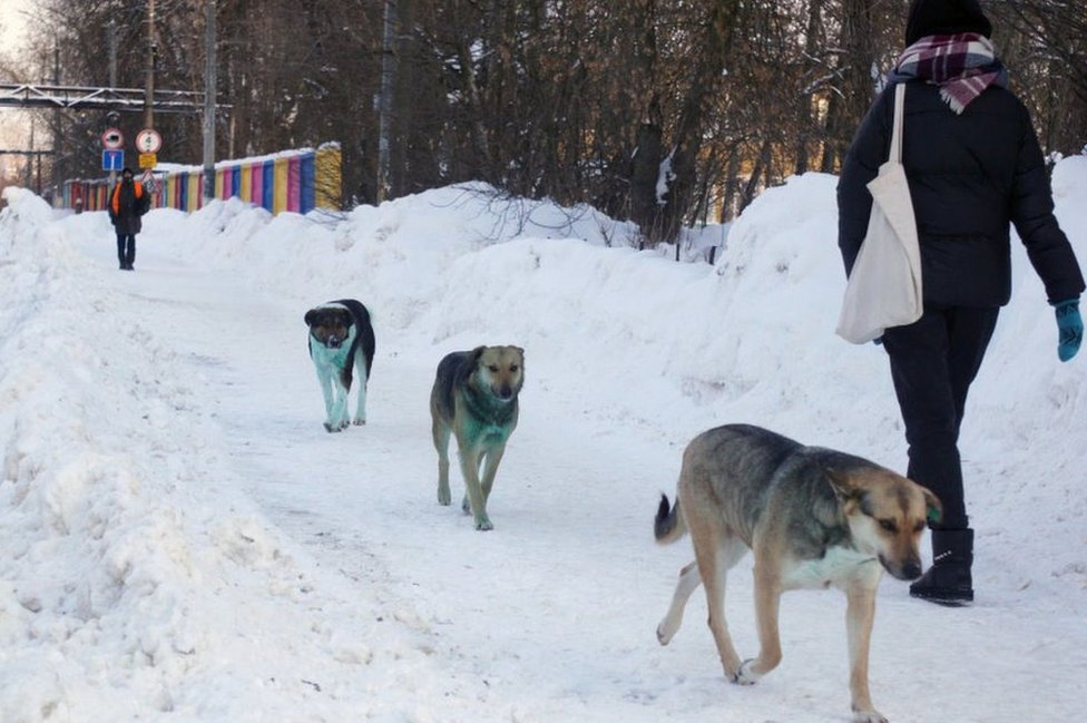 Dogs with green fur, Podolsk, 18 Feb 21