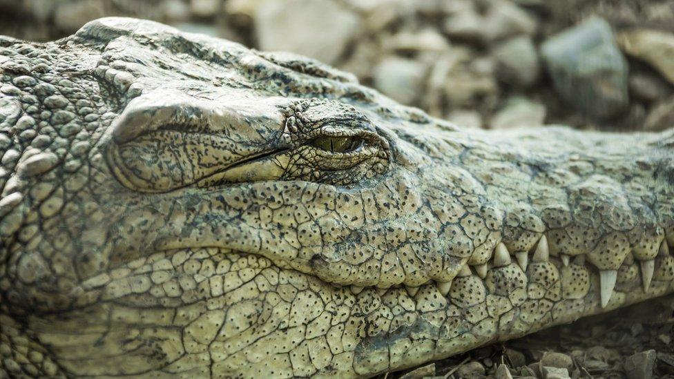 close-up of crocodile with half-closed eye