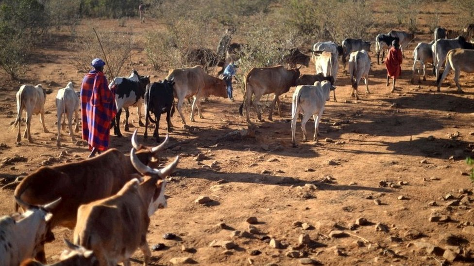 Samburu pastoralists are allowed access on January 24, 2017 to dwindling pasture on the plains of the Loisaba wildlife conservancy