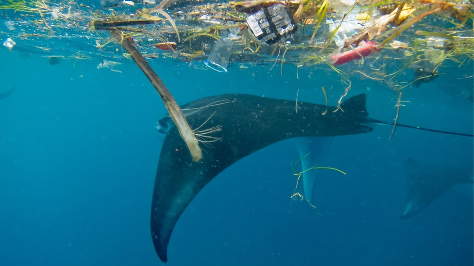 Manta ray with plastic in Indonesia