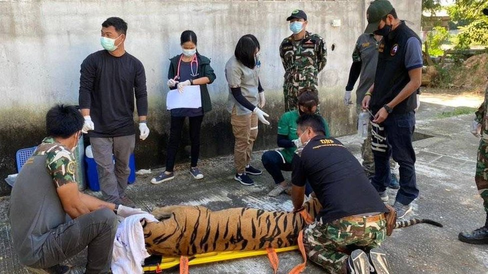 Thai authorities taking DNA sample from a tiger in a tiger park in Thailand last March