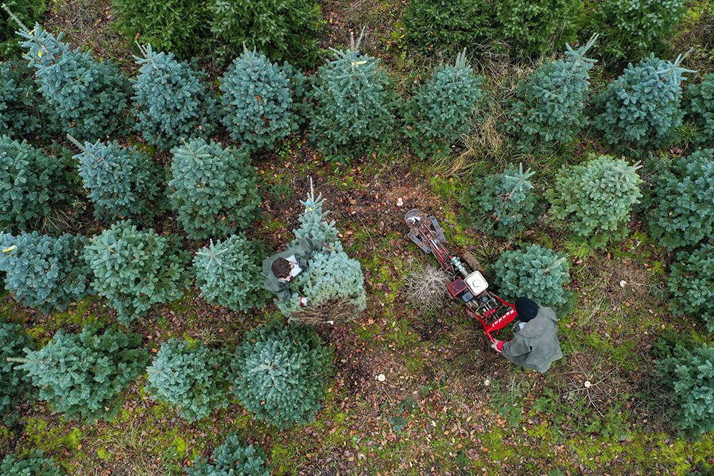 Cutting christmas trees