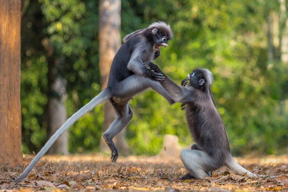 Two monkeys fighting